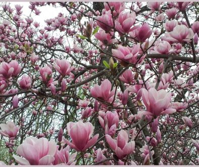 Photo of magnolia blossoms