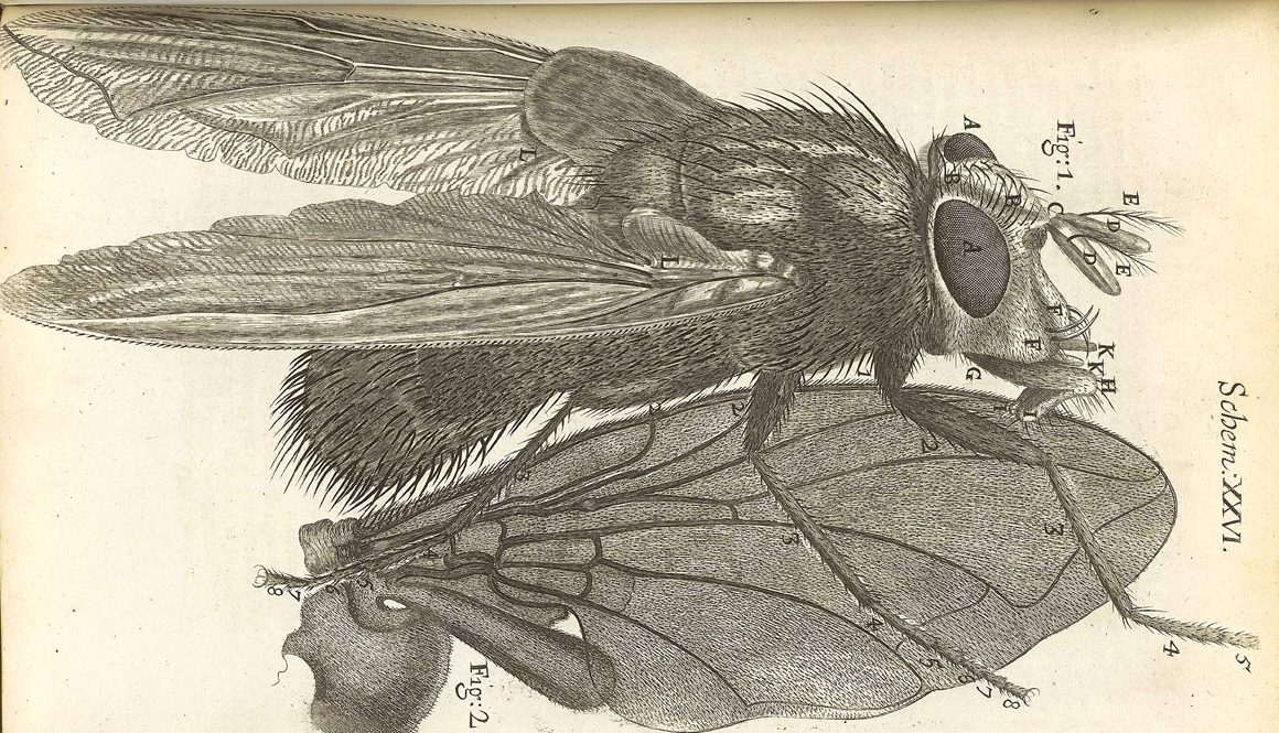 drawing of fly by Robert Hooke