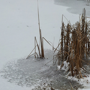 Cattails in the Ice