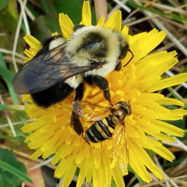 A bumble bee and a sweat bee on a single dandelion