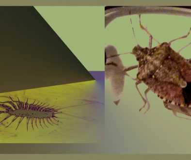 Centipede and Stink Bug