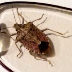 Photo of stink bug
