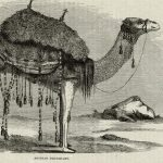 illustration of camel