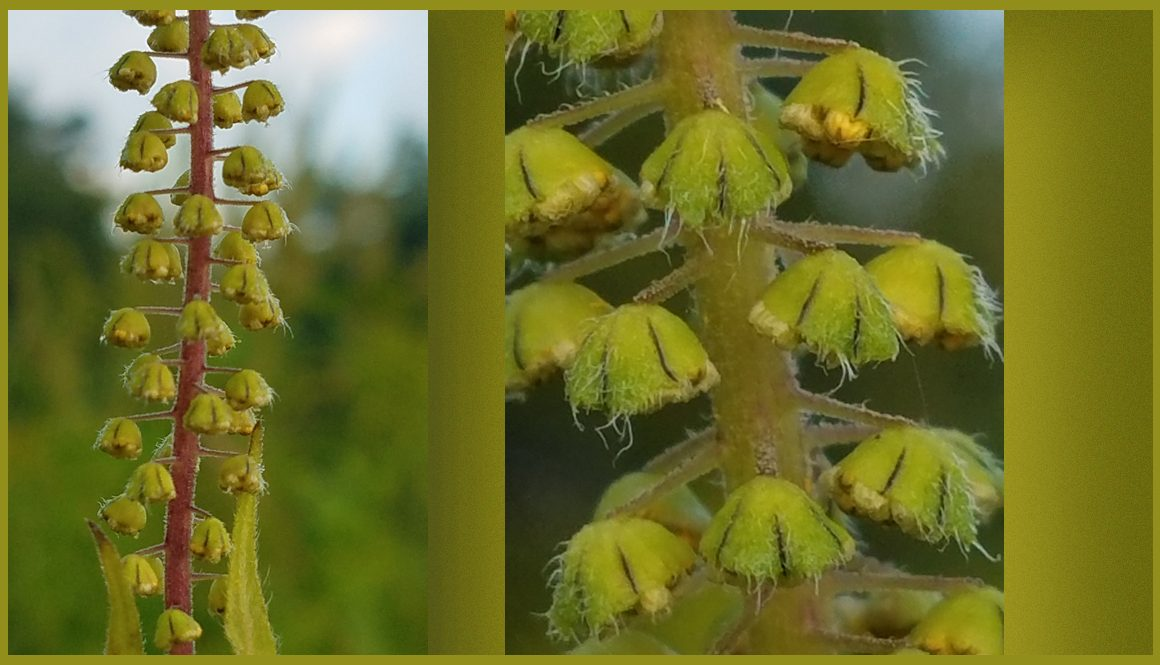 photo of nettle flowers