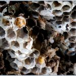 Photo of cells in wasps nest