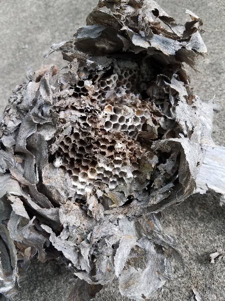 Photo of inside of paper wasp nest