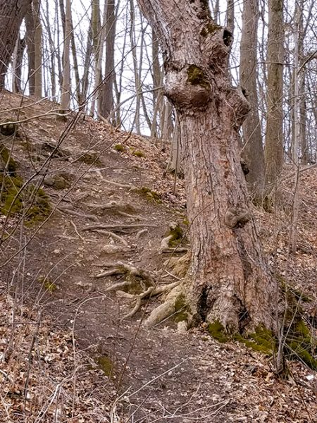 Photo of gnarled tree, roots forming steps up bank