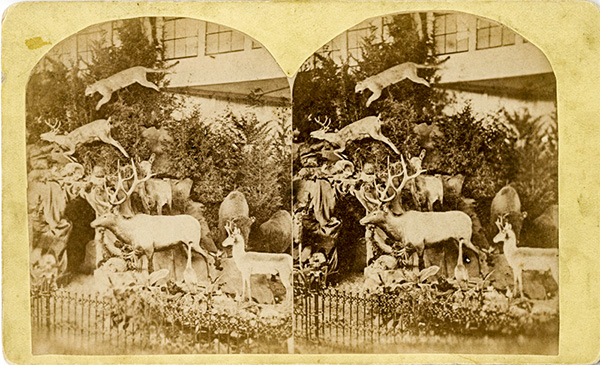 Stereograph of natural history display