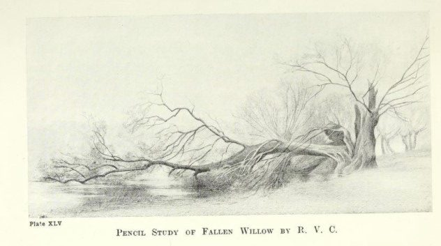 Pencil sketch of fallen willow by R.V.C.