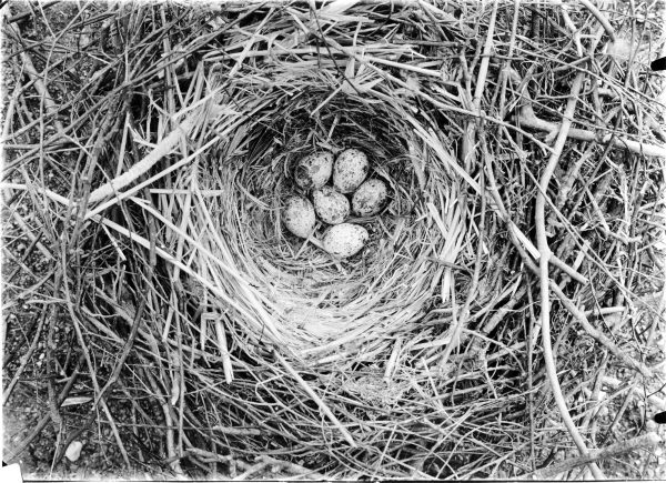 Rook nest with eggs