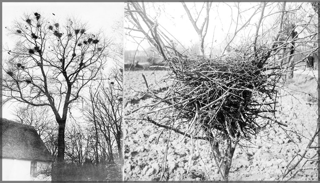 Photos of rook nests in trees